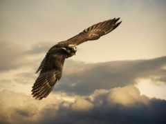 полет, небо, орлан