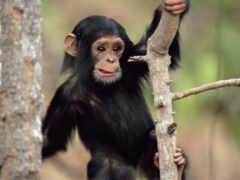 дереве, шимпанзе, обезьяна