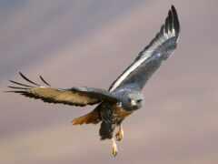 птица, prey