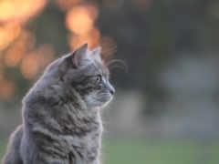 kitten, серая