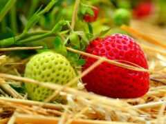 клубника, ягода, campo
