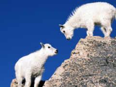 год, козы, овцы