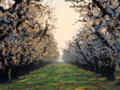 цветущих, деревьев, аллея
