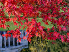 maple, leaf, канада