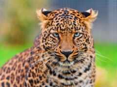 леопард, взгляд, кот
