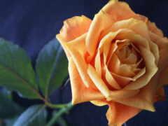 взлёт, оранжевый, роза