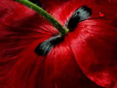 бардовый тюльпан