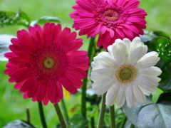 герберы, цветы, gerbera Фон № 151316 разрешение 1920x1200