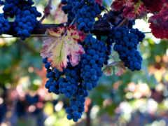 виноград, винограда, лоза