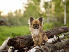 чихуахуа, породы, собак