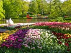 природа, тюльпаны, весна