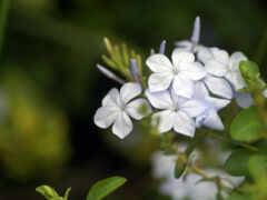 цветы, жасмин, белье
