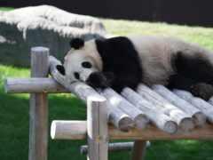 панда, медведь, natural