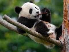 панда, cute, baby