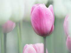 тюльпан, фон, размытость