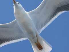 чая, птица, крыло