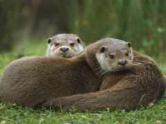 otter, европейская, трава