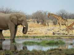 animal, саванна, жирафа
