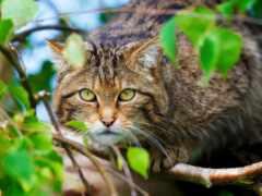 кот, wild, oir