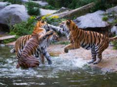 трио, кот, тигр