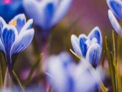 крокус, цветы, early
