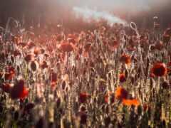 poppy, олимп, цветы