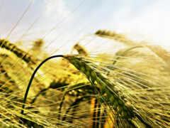пшеница, острие, campo