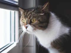 окно, смотрит, кот
