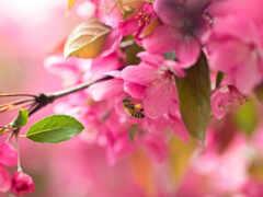 цветы, cherry, сакур