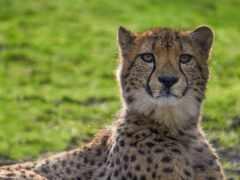 гепард, биг, кот