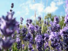 lavender, цветы, purple