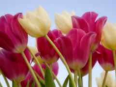 rosa, saron, flor