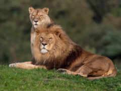 lion, биг, left