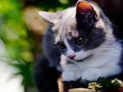 манчкин, кот, котенок