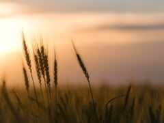 rye, поле, серьги