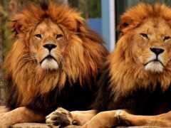 leone, lion, dos