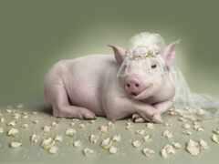 свинья, porosenka, cool
