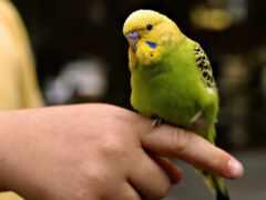 попугай, wavy, приручить