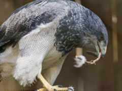птиц, звуки, buzzard