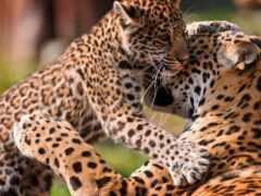 картина, леопард, holst