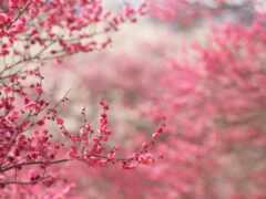 сакур, japanese, цветы