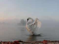 туман, лебедь, картинка