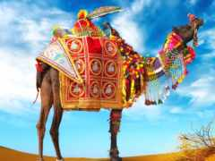 camel, фото, верблюдов