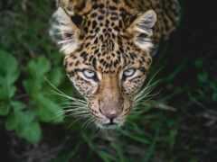 леопард, ipad, животные