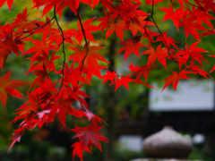 rouge, природа, érable