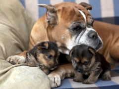 собак, щенков, собаки