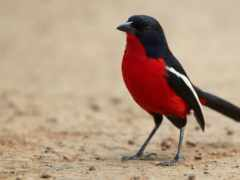 птица, ук, black