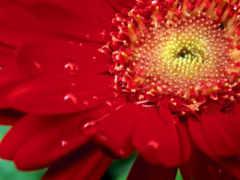 цветы, красная Фон № 23900 разрешение 1920x1200