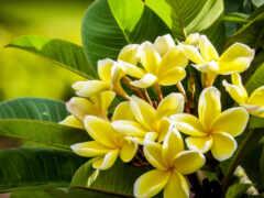 branch, плюмерия, цветы