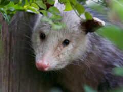 опоссум, possum, ноутбук